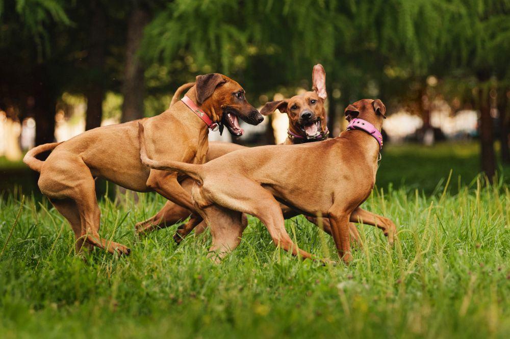 Rhodesian Ridgeback beschäftigen mit anderen Hunden
