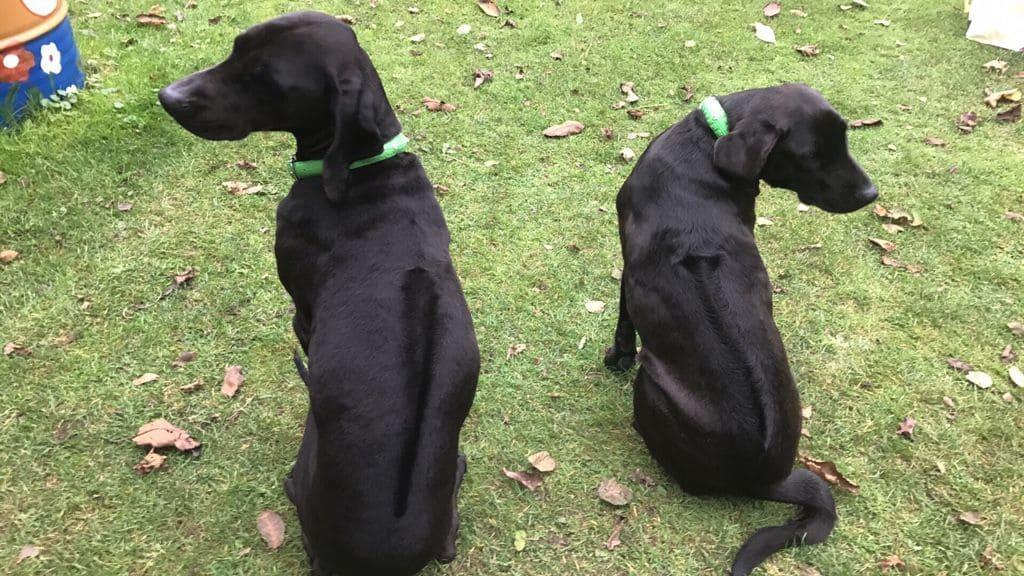 Zwei Labrador Ridgeback Mischlinge auf Rasen