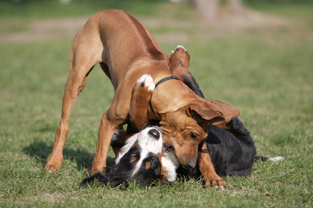 Rhodesian Ridgeback mit anderen Hunden beschäftigen.