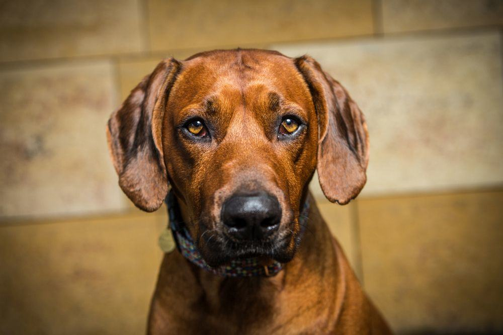 Rhodesian Ridgeback in Not