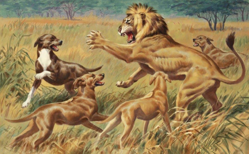 Löwenjagd mit Rhodesian Ridgeback