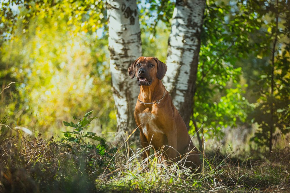 Im Wald lauern oft Zecken auf den Rhodesian Ridgeback