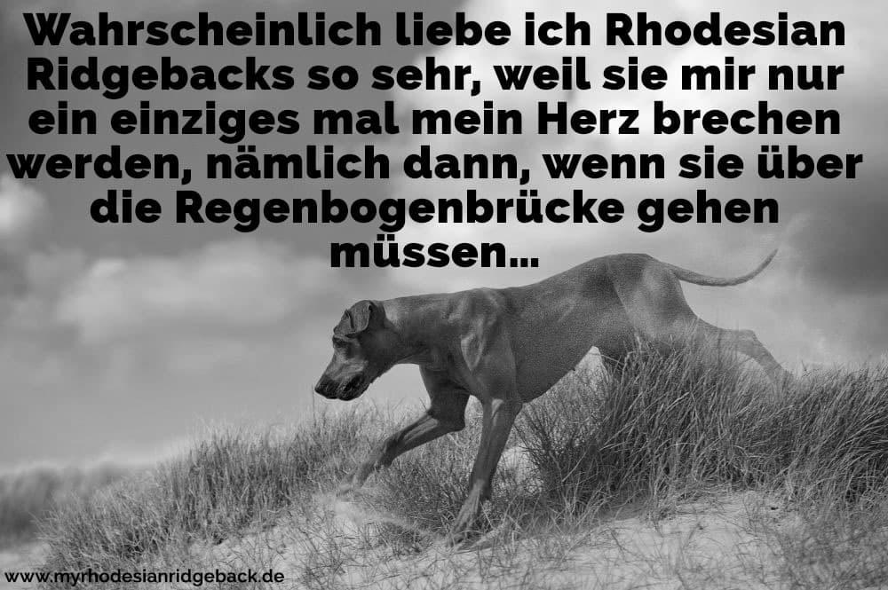 Ein Rhodesian Ridgeback läuft auf dem Rasen