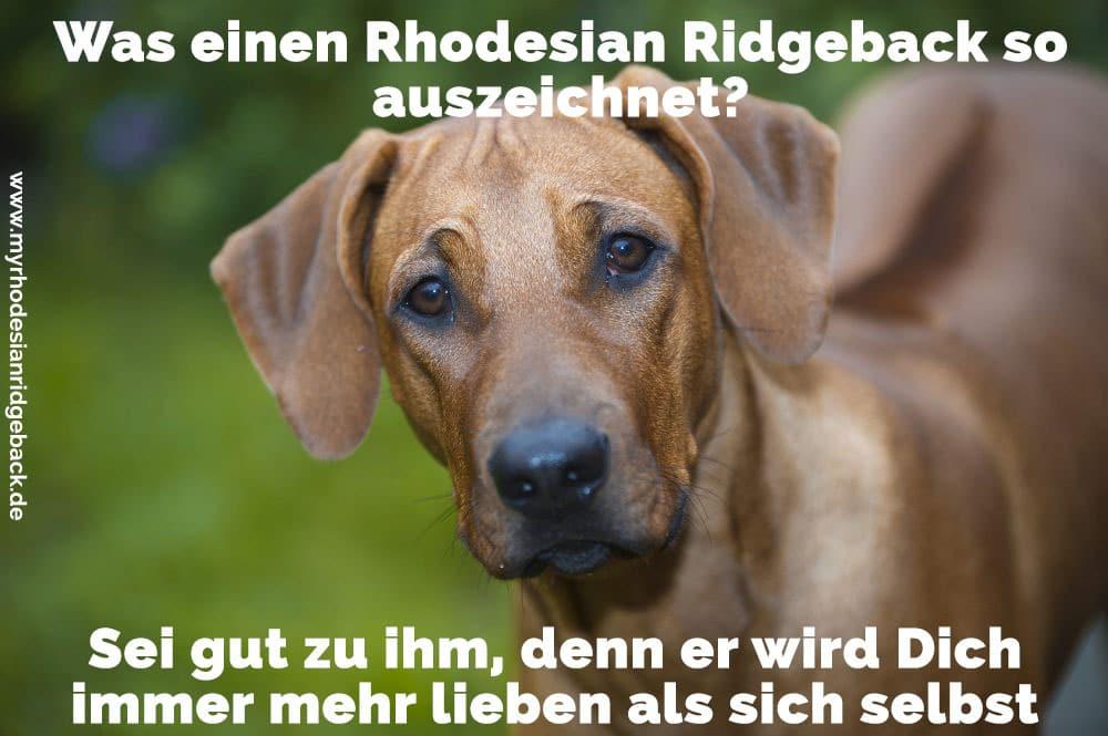 Einen traurigen Rhodesian Ridgeback