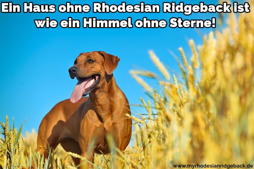 Ein Rhodesian Ridgeback im Feld