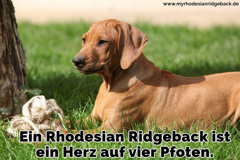 Ein Rhodesian Ridgeback liegt im Gras