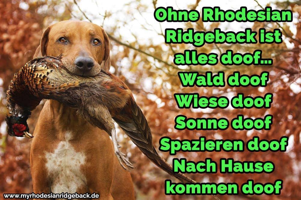 Ein Rhodesian Ridge mit einem Tier in den Mund