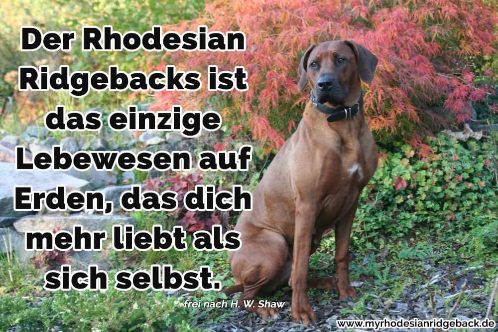 Ein Rhodesian Ridgebacks im Gras