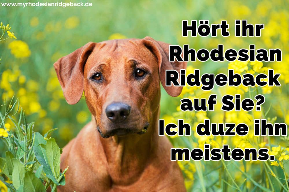 Ein trauriges Rhodesian Ridgeback