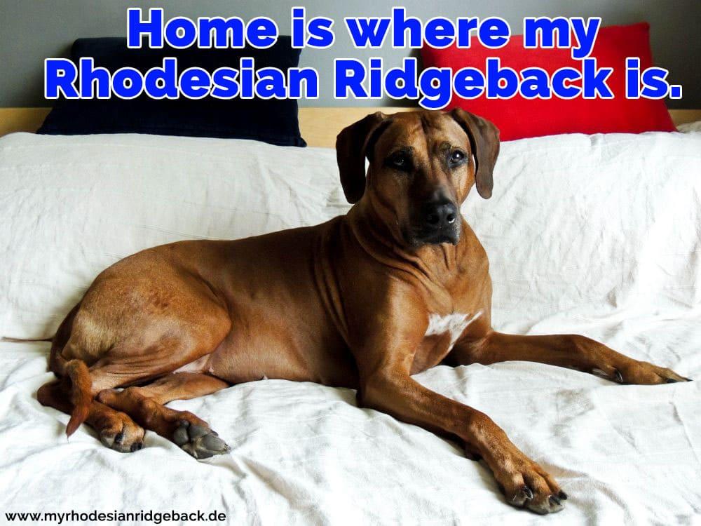 Ein Rhodesian Ridge liegt im Bett