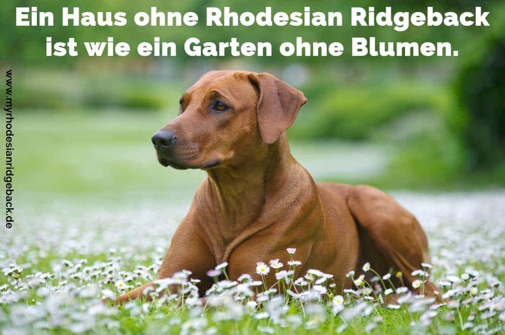 Ein Rhodesian Ridgeback im Garten liegen