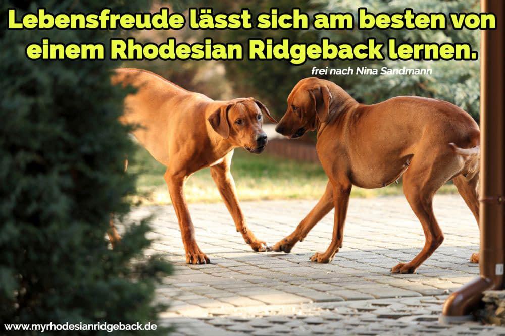 Zwei Rhodesian Ridgebacks spielen vor dem Haus