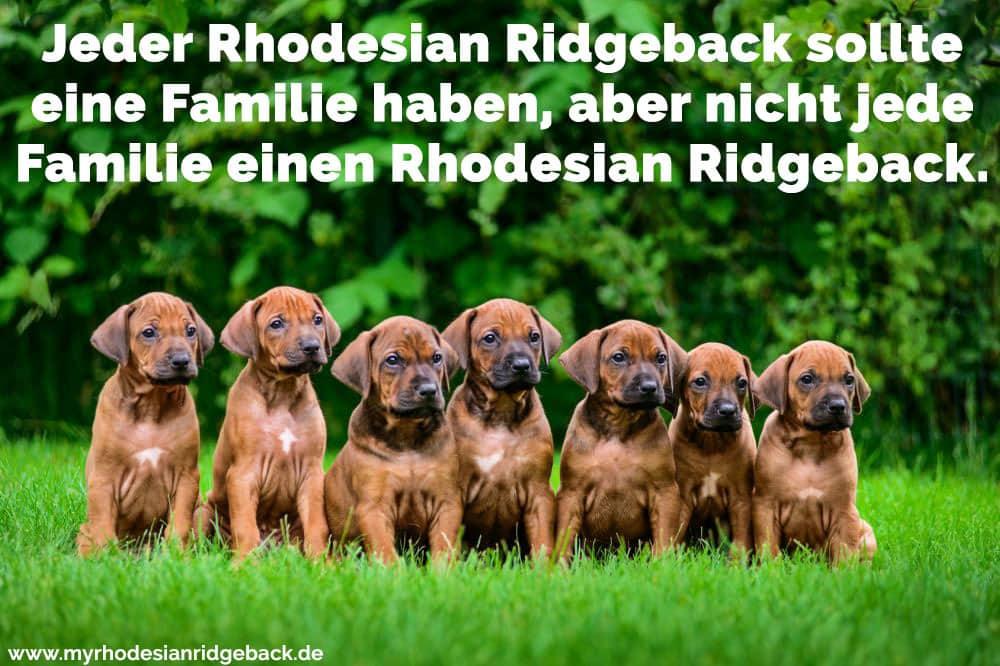 Einige Rhodesian Ridgebacks sitzen auf dem Rasen