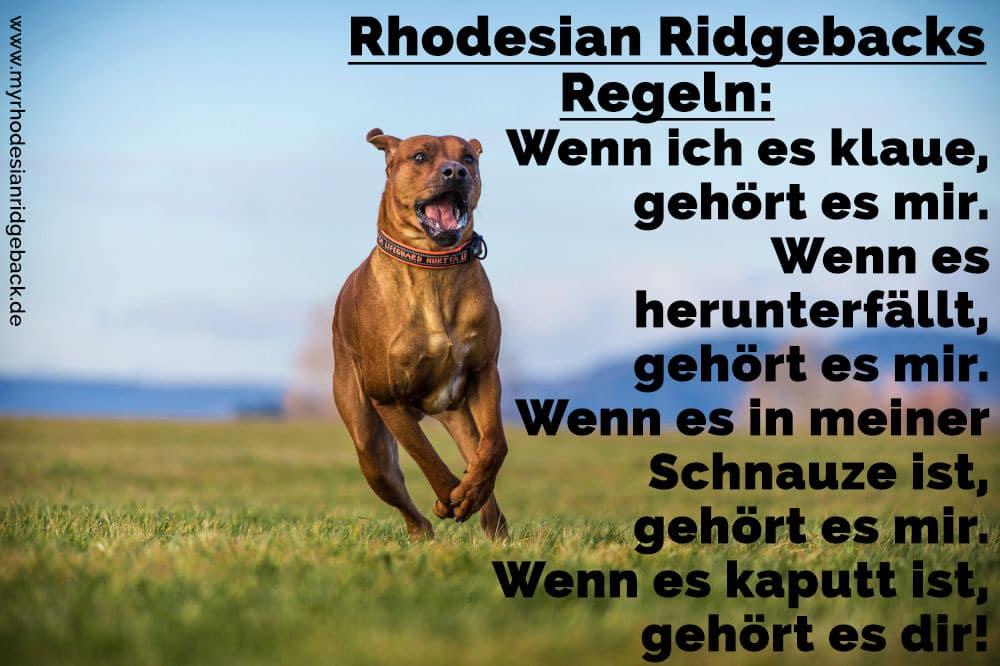Ein Rhodesian Ridgeback rennt auf dem Rasen