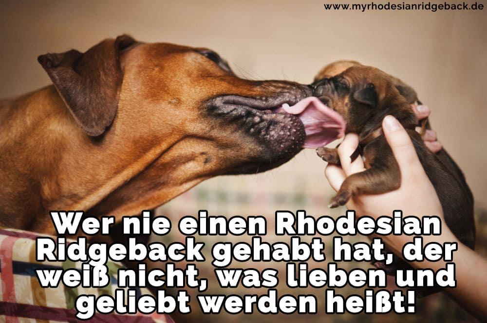 Ein Rhodesian Ridgeback leckt Ihre Welpen