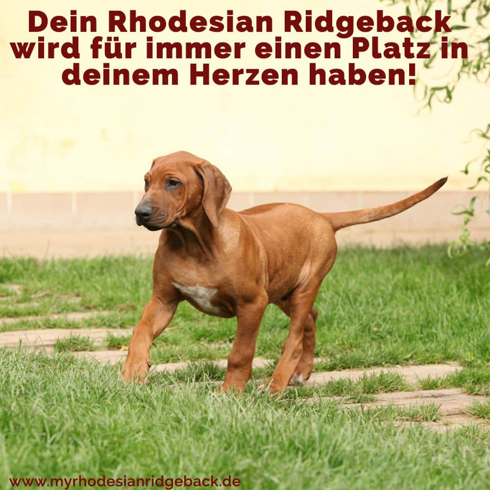 Ein Welpen Rhodesian Ridgeback zu Fuß auf dem Rasen