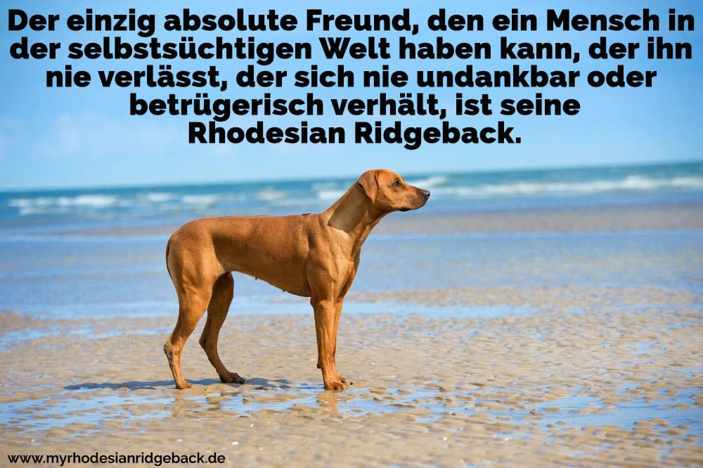 Ein Rhodesian Ridgeback am Strand