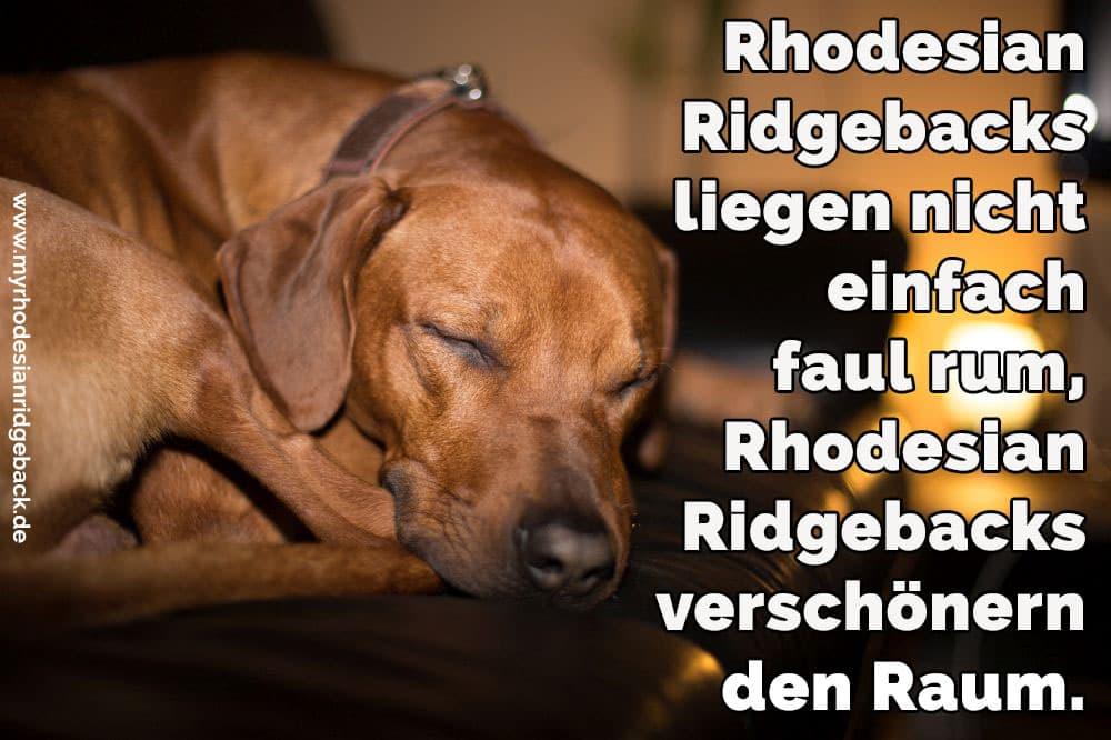 31/5000 Ein Rhodesian Ridgeback Schlaf