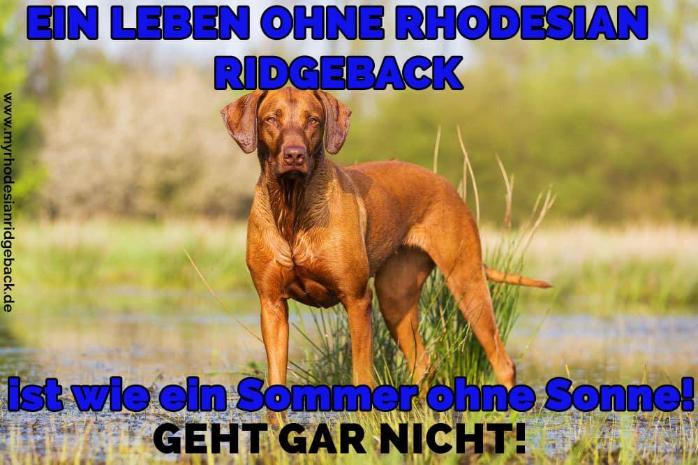 Ein Rhodesian Ridgeback im Gras