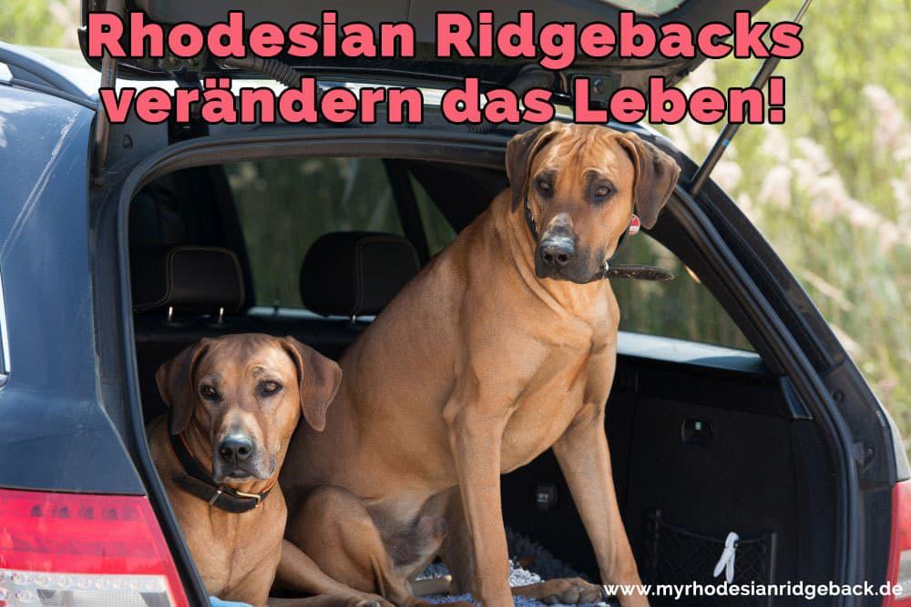 Zwei Rhodesian Ridgeback im Kofferraum
