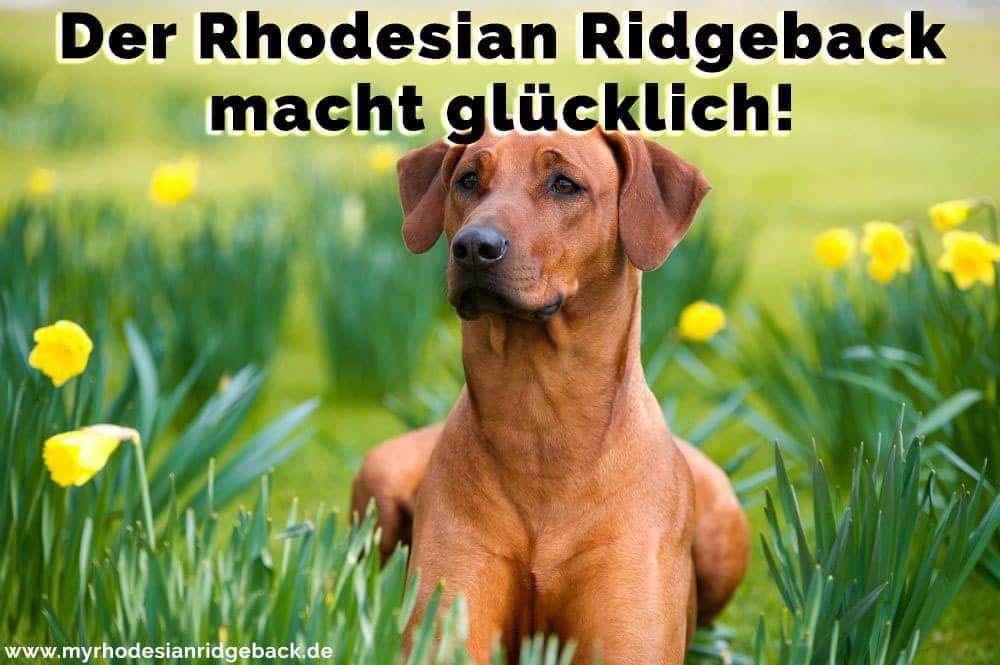 Ein Rhodesian Ridgeback im Garten