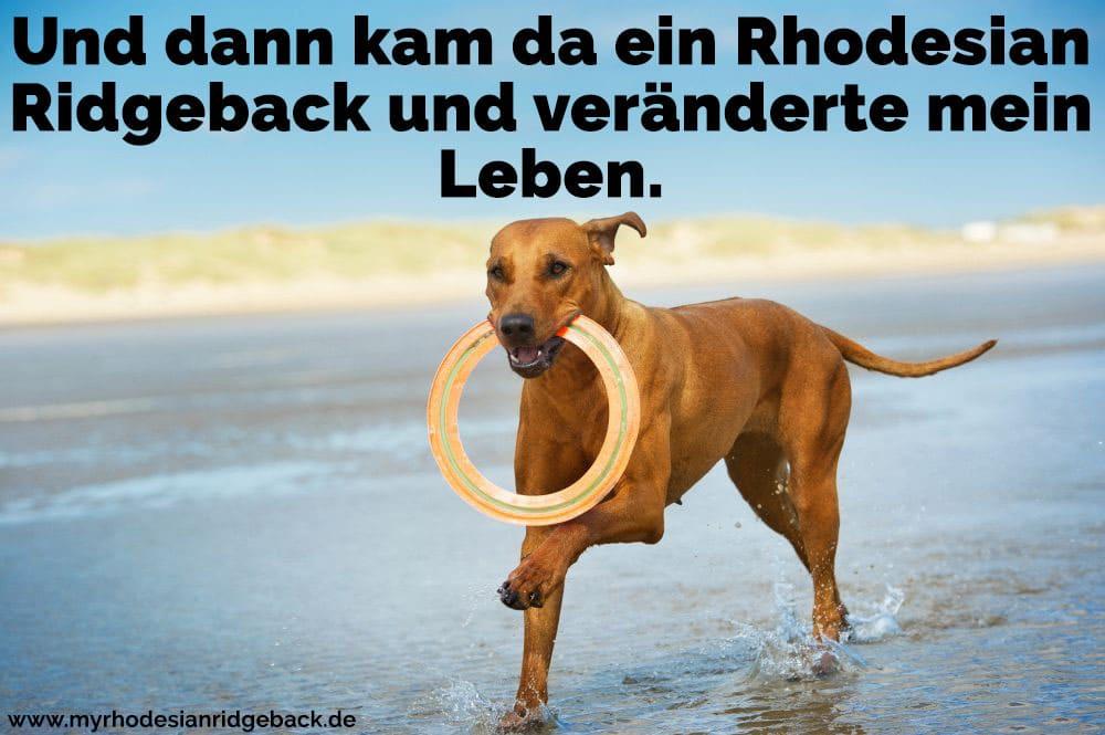 Ein Rhodesian Ridgeback spielt am Strand