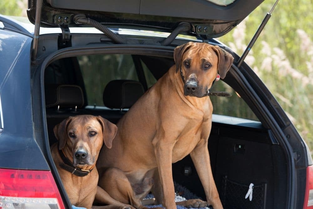 Zwei Rhodesian Ridgebacks im Kofferraum