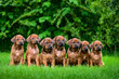 Seven Rhodesian Ridgeback puppies sitting in row on grass