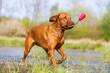 Rhodesian ridgeback running with a toy in a pond