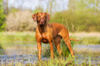 portrait of a Rhodesian Ridgeback at a pond