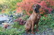 Portrait of a beautiful Red colored Rhodesian Ridgeback