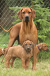 Rhodesian ridgeback bitch with puppies