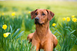 Happy cute rhodesian ridgeback dog in the spring field