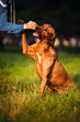 Rhodesian Ridgeback dog training