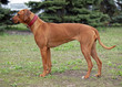 Portrait of Rhodesian Ridgeback  dog on natural background
